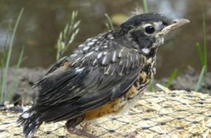 pouty-robin-fledging
